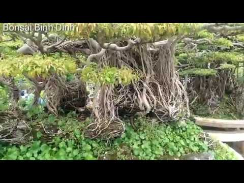 Ornamental plants long lasting male,SANH KHỦNG QUÁ - Bonsai Binh Dinh