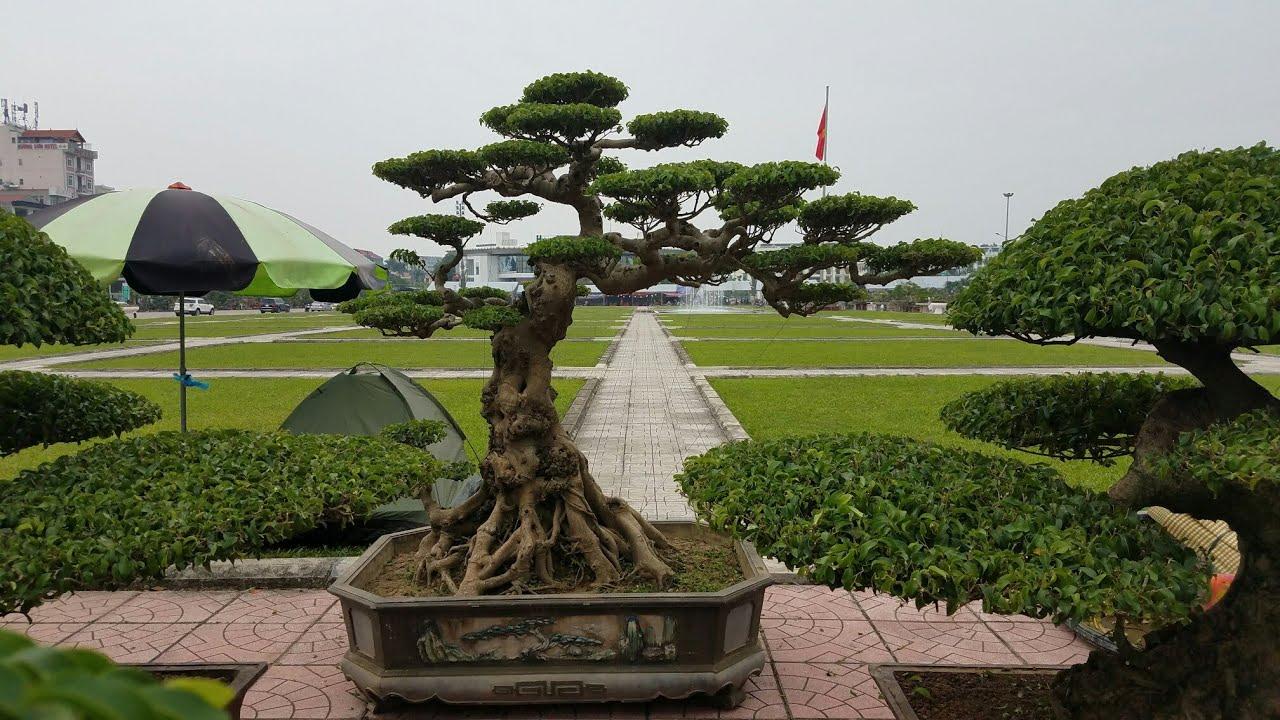 SH.1839.Bất ngờ với báo giá 100tr cây Sanh Lão Tùng rất đẹp tại Bắc Giang.