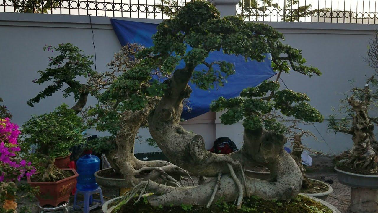 SH.1900.Báo giá 30tr cây Duối và nhiều loại cây khác đẹp quá trời luôn tại hội chợ Long Biên