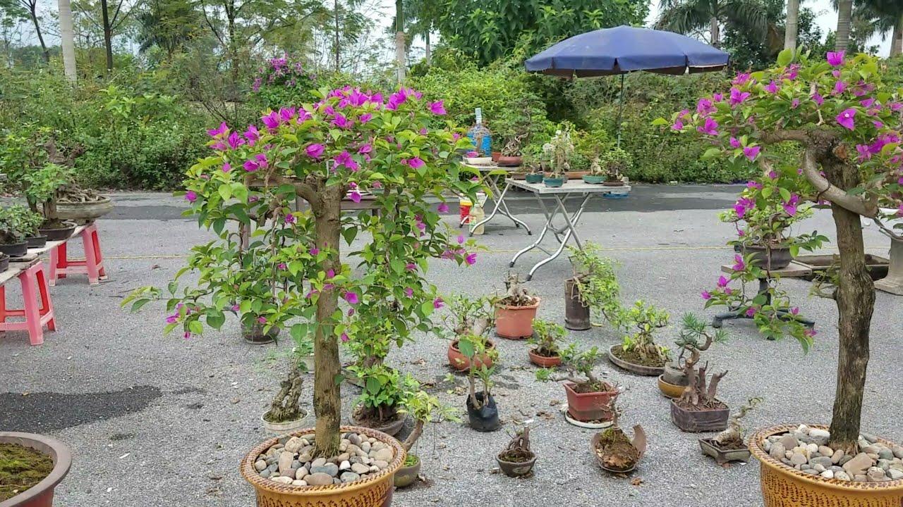 SH.2003.Báo giá 4tr cây Hoa giấy và nhiều loại khác bonsai mini tại Đồng Mô hôm nay.