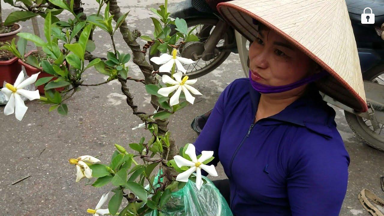 SH.2449.Anh này khoái cây Dành Dành với 1tr mua ngay trong một phút,được lai luôn người đẹp bán cây.