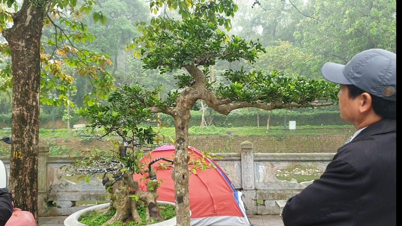 SH.2493.Báo giá 30tr cây Ngâu dáng Tùng rất hay và nhiều Bonsai mini đẹp tại Sơn Tây Hà Nội hôm nay