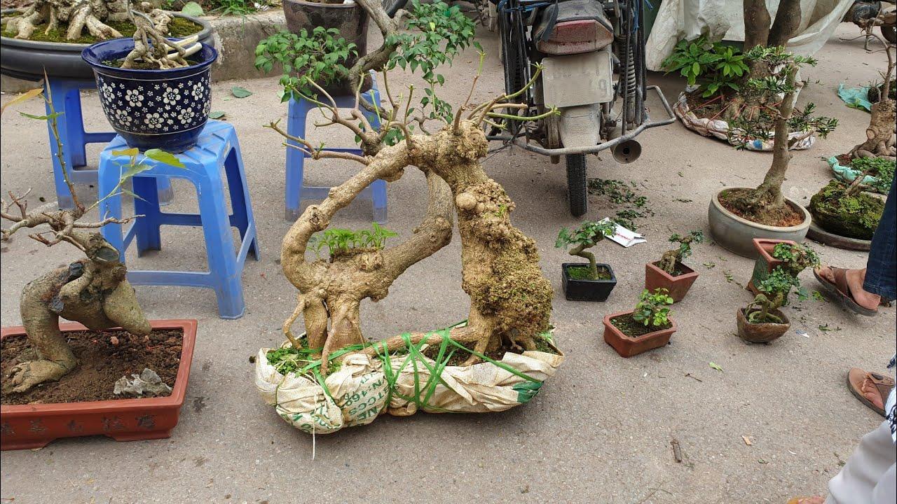SH.2653.Báo giá 9tr gốc cây Hoa Sữa đẹp và kỳ quái cùng nhiều Bonsai đặc biệt tại chợ Vạn Phúc HĐ.