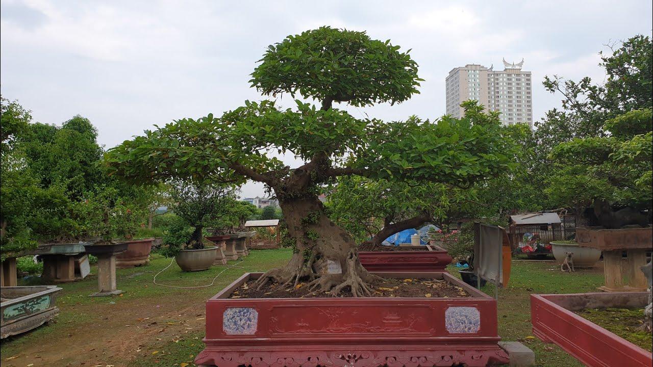 SH.2822.Cây Sung này mới gọi là cây Sung Sướng.Đẹp quá trời luôn.