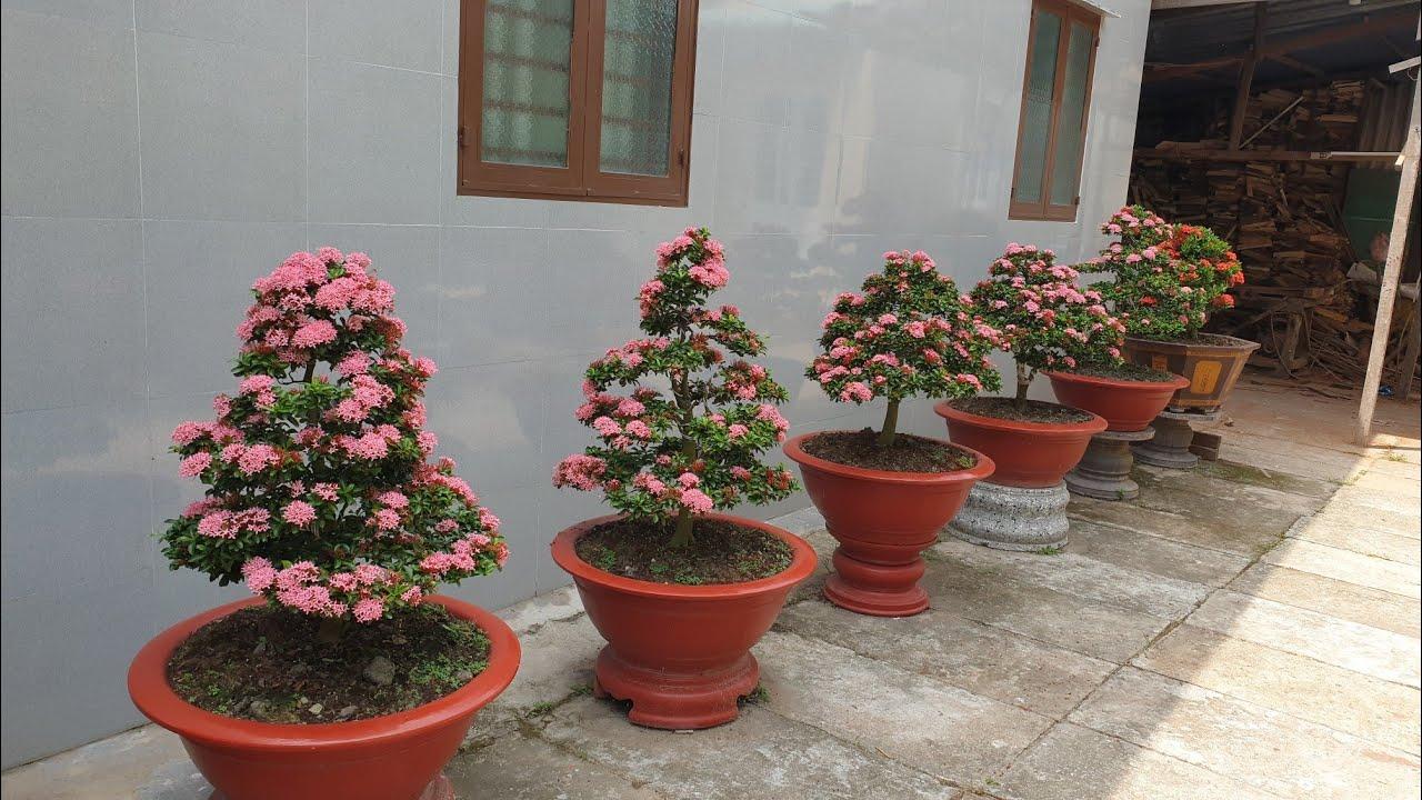 SH.3285.Báo giá 3 tr cây Bông trang hồng phấn đẹp quá. Vườn Minh Tuấn. Tân Hiệp. Kiên Giang.