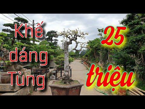 SH.3959. Cây Khế dáng tùng cực đẹp 25 triệu tại Châu Giang Bonsai.