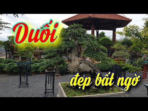 SH.4393. Chiêm ngưỡng cây Duối đẹp bất ngờ vườn ông Trần Bích TP Buôn Ma Thuột tỉnh Đắk Lắk.