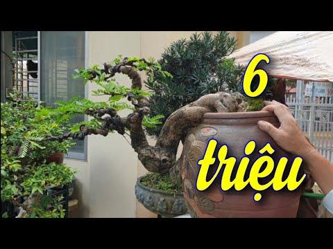 SH.4433. Báo giá cây Me đẹp giá 6 triệu đồng vườn cảnh Năm Sanh TP Buôn Ma Thuột Đắk Lắk