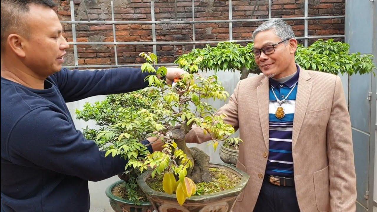SH.4600. Giao lưu cây Khế đẹp 2,8 triệu vườn Mạnh Cường Phúc Thọ Hà Nội.