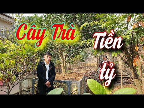SH.4691. Bất ngờ trước cây hoa Trà Thâm bát diện tuyết bạc tỷ hiếm có khó tìm, vườn cảnh Phùng Tuấn.