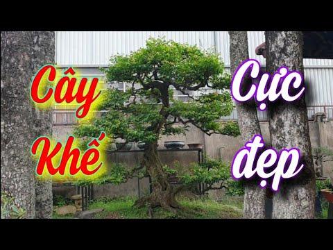 SH.4913. Nhiều người rất thích cây Khế đẹp của Dương Anh Tuấn ở tp Dĩ An tỉnh Bình Dương.