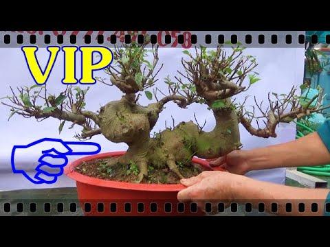 SUNG VIP , ngày 8/3, ĐT: 0337496058