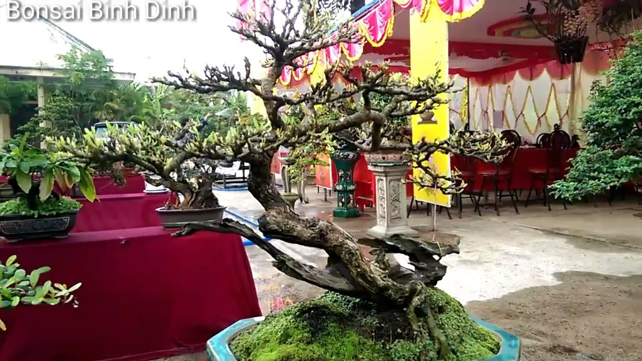Sam mini dễ thương quá đi - Bonsai Binh Dinh