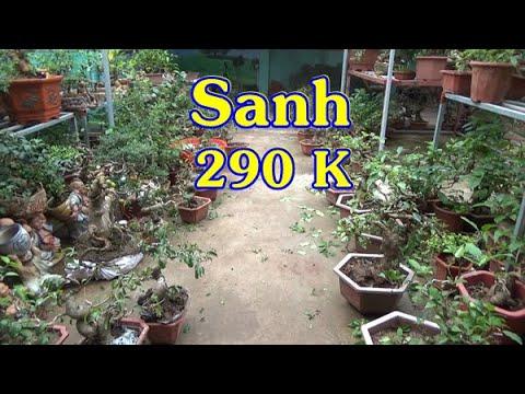 Sanh Nam Điền mini 290K- 350K , giống sung quả ngày 17/11, ĐT: 0337496058