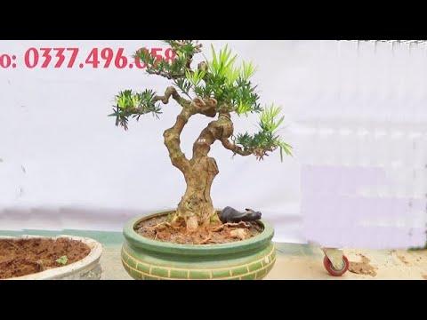 Sanh Nam Điền, sung, linh sam, tùng La Hán, ngày 24/3, ĐT: 0337496058