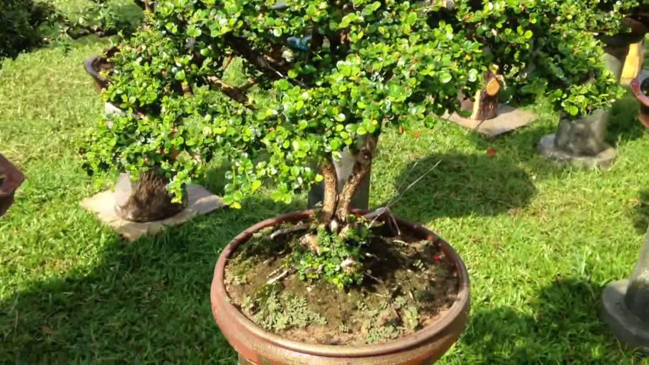Some beautiful bonsai  | Cây cảnh Bonsai Bình Định 1