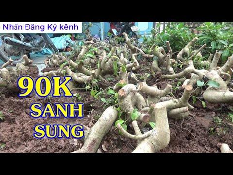 Sung 90K - 160K,  PHÔI SANH mini,  Giảm giá ngày 2/4, ĐT: 0337496058