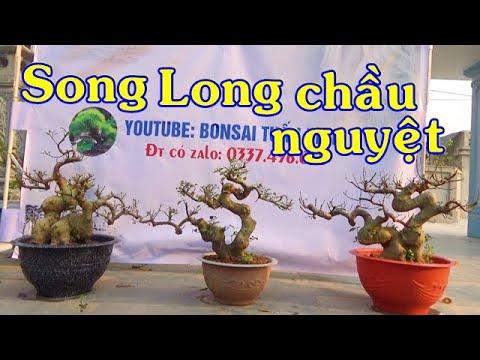 Sung - Túc VIP, lộc vừng dáng long, ngày 11/3, ĐT: 0337496058