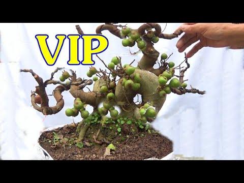 Sung VIP, lùn lực ,vặn xoắn, bệ đẹp, quả nhiều, ngày 6/11, ĐT: 0337496058