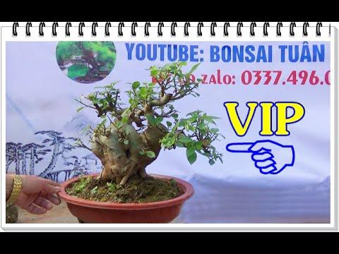 Sung VIP, sanh Nam Điền, lộc vừng mini ĐT: 0337496058, ngày 18/2