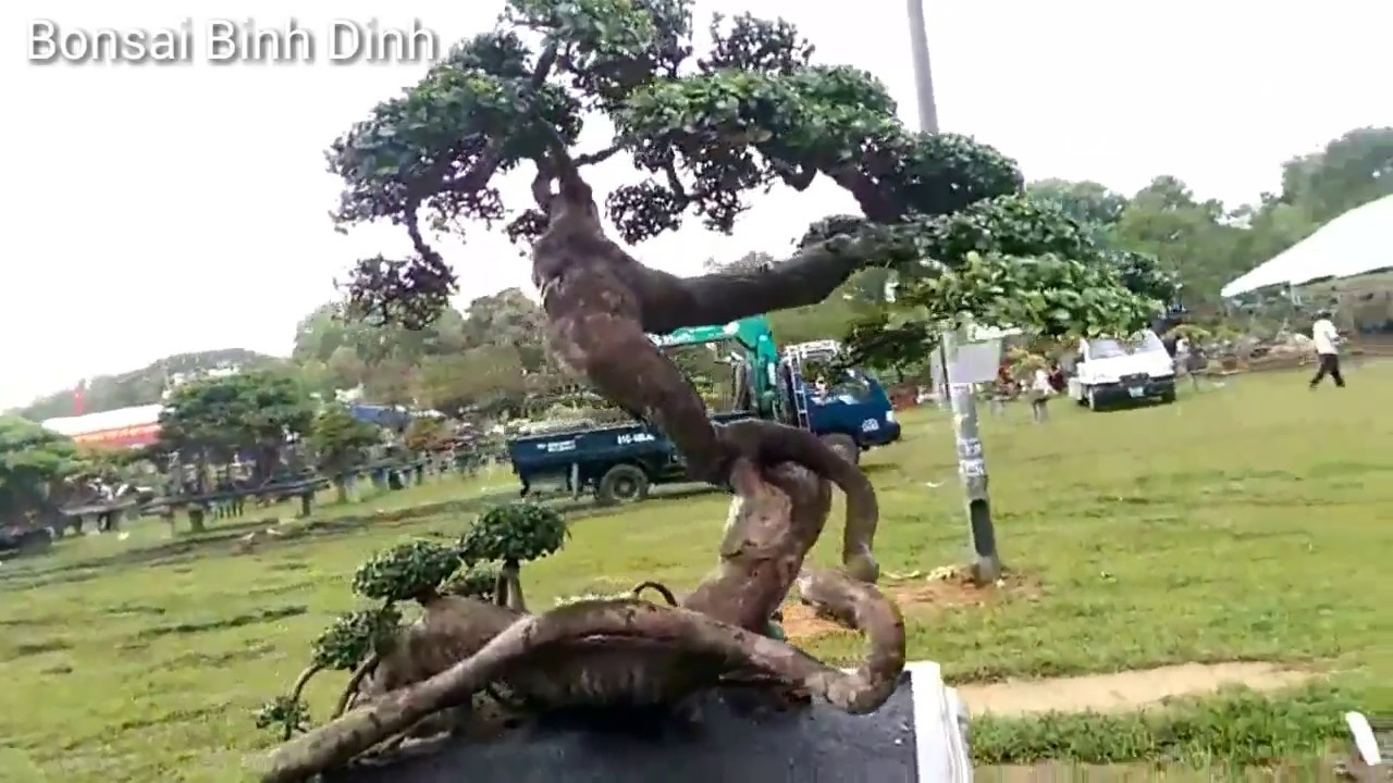 Super beautiful plants, there are two  - Bonsai Binh Dinh