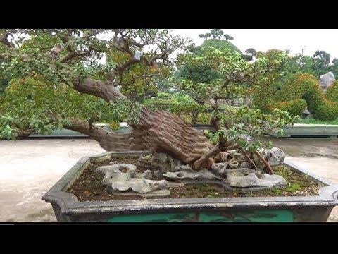 Tác phẩm ổi tàu vườn đại gia Huy Gỗ, thành phố Nam Định