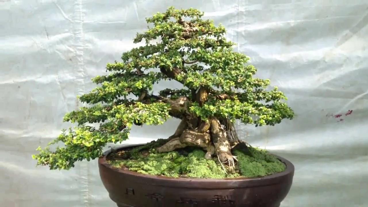 The best plants in bonsai    Bonsai Bình Định 2