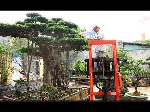 Tôi bán cây 250 triệu, giờ về Văn Giang 6 tỷ. Bác Trình kinh doanh cây lâu năm đất Vũ Thư .