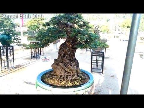 Triển lãm Tuy Phước  - Tuyệt đỉnh cần thăng  - Bonsai Binh Dinh