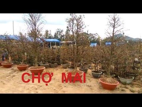 Vào xem một chợ Mai tết - Bonsai Binh Dinh