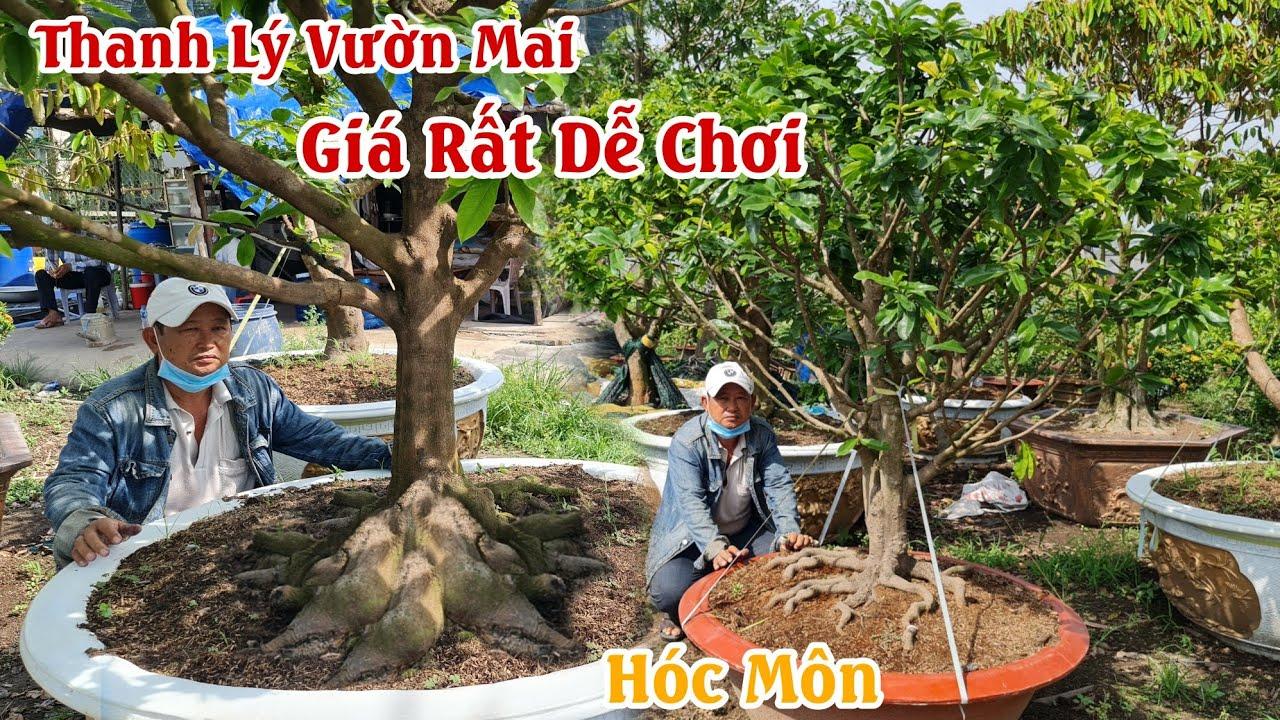Vườn mai 32 gốc hoành 50 giá chưa tới 10 triệu ở Hóc Môn 0903724790
