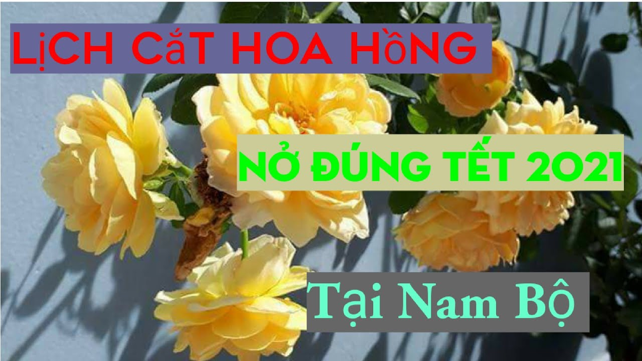 Lịch Cắt tỉa hoa Hồng nở đúng Tết 2021 Tại Nam Bộ./ How to make roses Bloom in the new year
