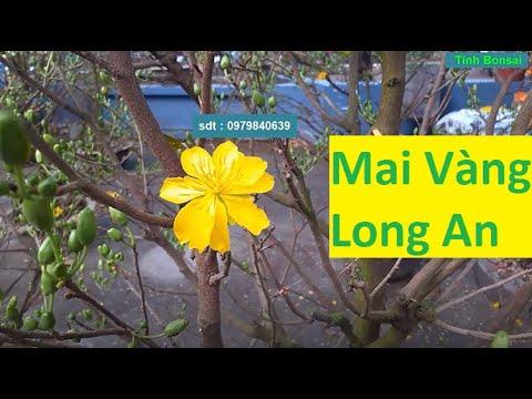 Mai Vàng Thuần Chậu Bông Đẹp Ở Chợ Hoa Long An | Tính Bonsai
