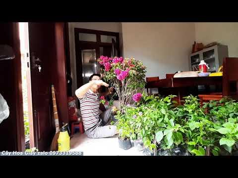 Quy trình vận chuyển cây hoa giấy Thái của 2 Lúa
