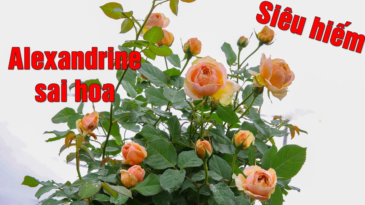 Siêu hiếm bông hồng Pháp Alexandrine thơ mộng hoàn mỹ