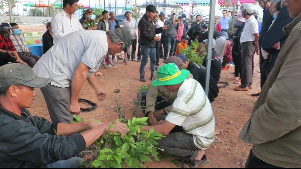 Thi tay nghề làm mai bonsai hội thi mai vàng An Nhơn_Bình Định