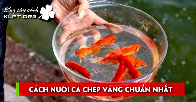 cach-nuoi-ca-chep-vang-chuan-nhat-theo-chia-se-cua-chuyen-gia