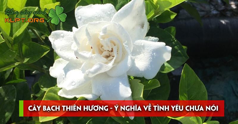 cay-bach-thien-huong-y-nghia-ve-tinh-yeu-chua-noi