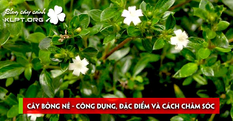 cay-bong-ne-cong-dung-dac-diem-va-cach-cham-soc