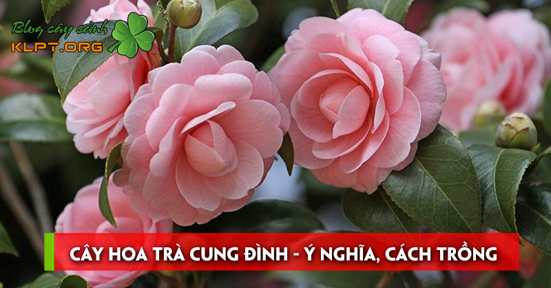 cay-hoa-tra-cung-dinh-y-nghia-cach-trong-va-cach-cham-soc