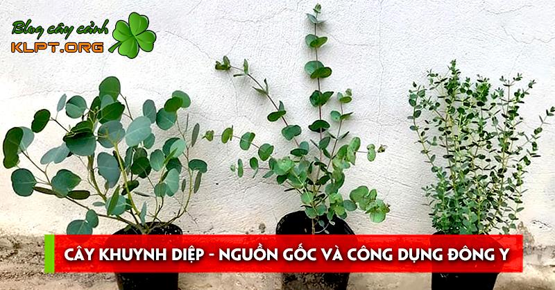cay-khuynh-diep-nguon-goc-va-cong-dung-dong-y