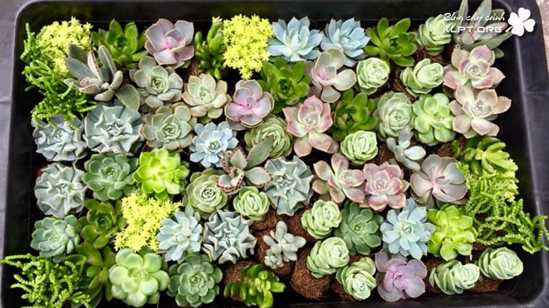 gia-huy-succulents-sen-da-klpt-1