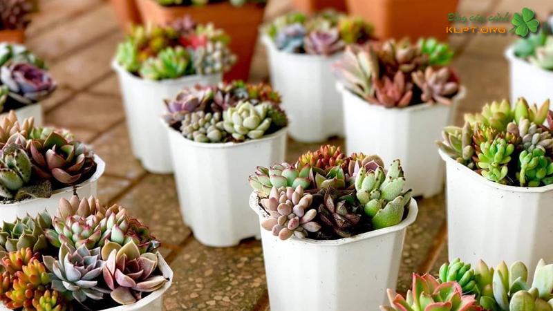 gia-huy-succulents-sen-da-klpt
