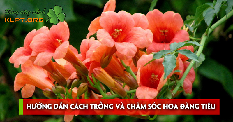huong-dan-cach-trong-va-cham-soc-hoa-dang-tieu