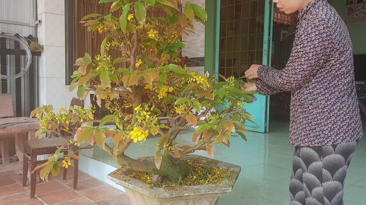 kỹ thuật xả tàn mai bonsai,giúp cây mau phục hồi