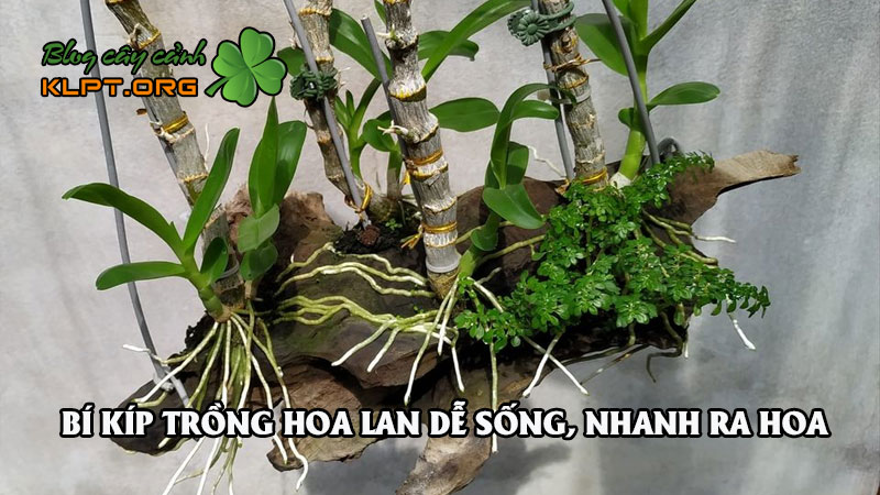 ngac-nhien-voi-nhung-bi-kip-trong-hoa-lan-de-song-nhanh-ra-hoa-dep-0-klpt