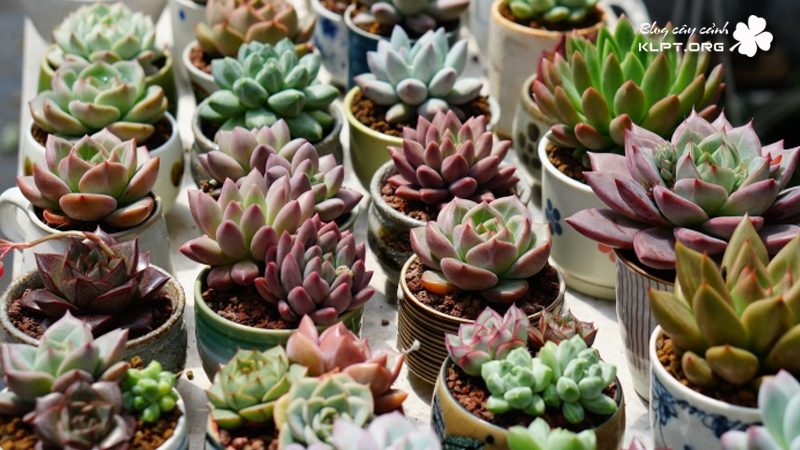 sen-da-mini-plant-garden-nghe-an-klpt-1
