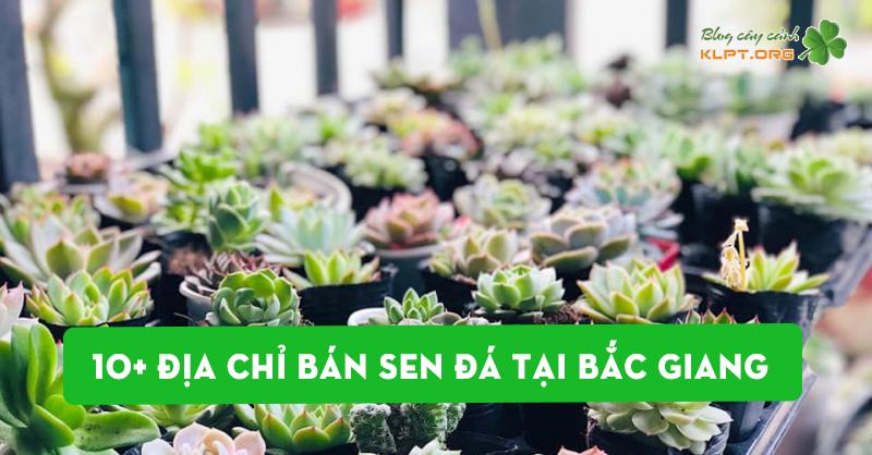 top-10-dia-chi-ban-sen-da-tai-bac-giang-ban-nen-ghe