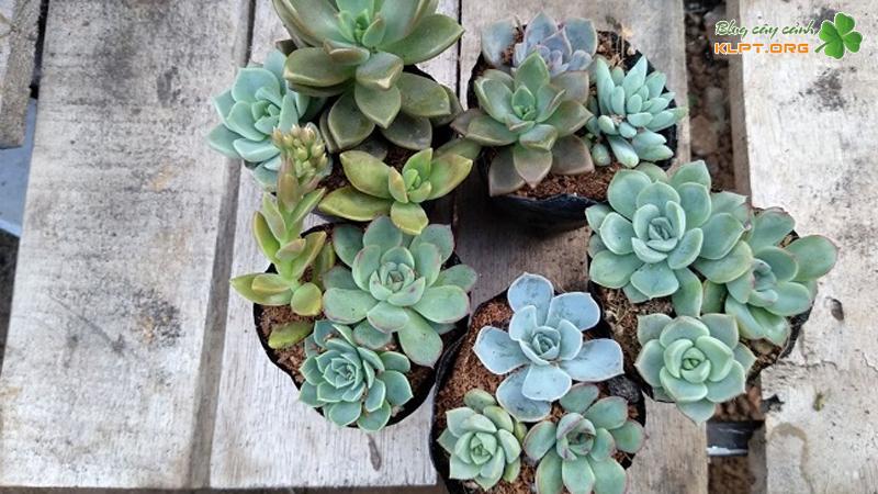 xin-sin-cactus-klpt
