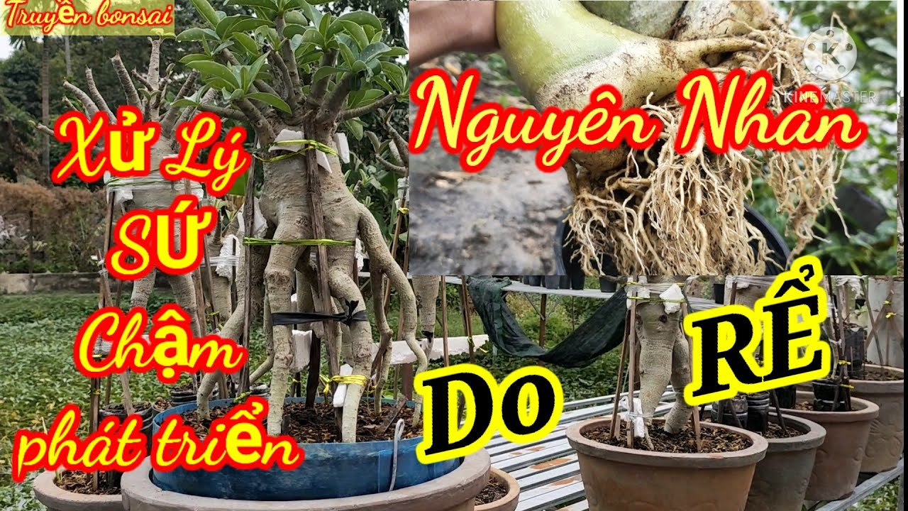 xử lý cây sứ chậm phát triển. (Nguyên nhân do đâu )/Truyền bonsai